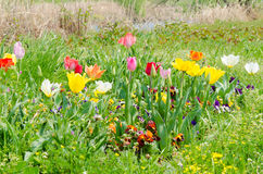 Flowers of tulips are blooming in the grass stock photos