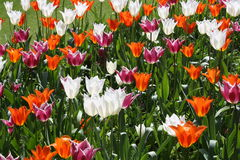 Tulips in the sunlight. Red, purple and white tulips in the sunlight with green leaves Royalty Free Stock Photos