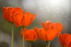 Flowers tulips with bright shades and beautiful light.Selective focus. Art royalty free stock image