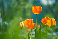 Flowers tulips with bright shades and beautiful light.Selective focus. Art stock photo
