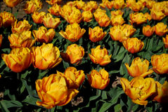 Flowers. Tulips. Stock Photography