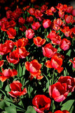 Flowers. Tulips. Royalty Free Stock Image