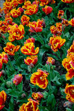 Flowers. Tulips. Royalty Free Stock Photos
