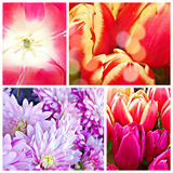 Flowers tulips and chysanthemum. Stock Photography