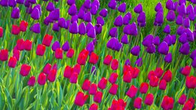 Flowers tulips. field of tulips Royalty Free Stock Image