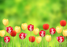 Flowers of a tulips Royalty Free Stock Images