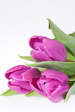 Flowers of  tulips isolated on white background. Some violet spring flower tulips with leaves isolated on white background Stock Photo
