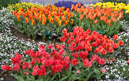 Flowers tulips in the Keukenhof park, Lisse. Holland. Royalty Free Stock Images