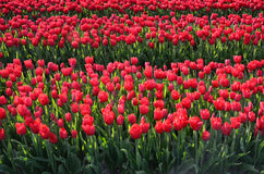 Flowers tulips midst of tulip fields Royalty Free Stock Photo