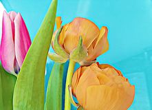 Flowers tulips with painting Royalty Free Stock Images
