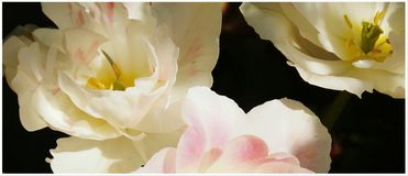 Flowers tulips with painting Royalty Free Stock Photos