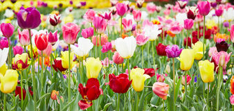 Flowers and tulips in panorama format. Different flowers and blooming tulips in panorama format royalty free stock photography