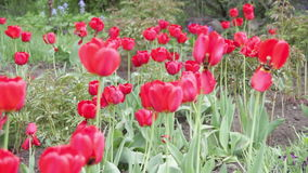 Flowers Tulips in the Park. Group of red tulips in the park. Natural background. Full HD 1920 x 1080p. 29,97fps stock footage