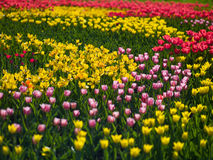 Flowers tulips Royalty Free Stock Image