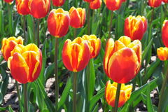 Flowers Tulips Stock Photography