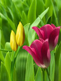Flowers  tulips  red  yellow  petals Stock Images