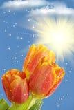 Flowers  tulips  sun  rain   clouds Stock Photos