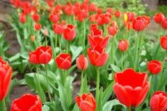 Flowers of tulips. Stock Image