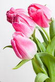 Flowers tulips Royalty Free Stock Photography
