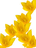 Flowers tulips yellow Stock Photos