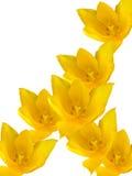 Flowers tulips yellow Stock Photos