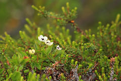 Flowers in tundra above Arctic Circle Royalty Free Stock Images