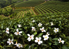 Flowers of Tung oil tree in May. In Taiwan Stock Images