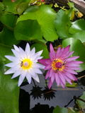 Flowers. Twin lotus white pink and bees Stock Images