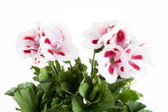 Flowers of a two-color geranium Stock Image