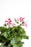 Flowers of a two-color geranium Stock Photos
