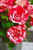 Flowers Two colors Red and white roses Royalty Free Stock Image