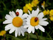 Flowers. Two red ladybirds on two flowers in the meadow Royalty Free Stock Photo