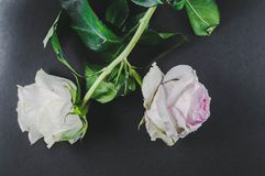 The flowers of two roses, turned away from each other wilted, as an illustration of a quarrel in relations between people . The flowers of two roses, turned stock images