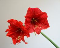 Flowers Two Scarlet Amaryllis with stamens. Details of Flowers Two Scarlet Amaryllis with yellow stamens royalty free illustration