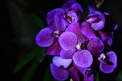 Flowers. Typical indonesian orchids that easy to find in indonesia Stock Photography