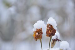 Flowers under the first snow Stock Images