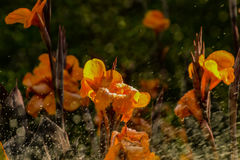 Flowers under jets of running water Stock Image