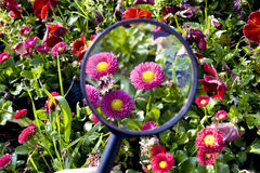 Flowers under magnifier Royalty Free Stock Photo