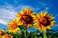 Flowers under sky. Image of Yellow sunflowers under sky with clouds Stock Image