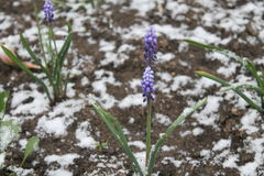 Flowers under snow Royalty Free Stock Photography
