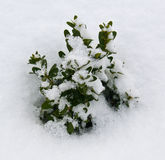 Flowers under snow. Green plant flowers underfirst white snow Royalty Free Stock Photos