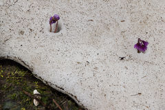 Flowers under snow, Slovenia. Alpine flora under the snow, Julian Alps, Slovenia Royalty Free Stock Photo