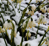 flowers under snow Royalty Free Stock Photos