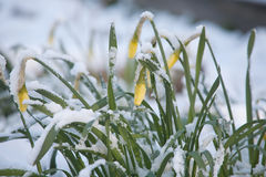 Flowers under sudden snow Stock Images