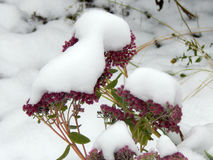 Flowers under white snow in winter Stock Photography