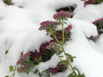 Flowers under white snow in winter Stock Images