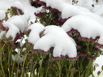 Flowers under white snow in winter Royalty Free Stock Images