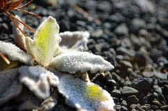 Flowers under white snow in winter closeup, New Zealand. New Zealand is a country in the southwestern Pacific Ocean consisting of 2 main islands, both marked by Stock Image