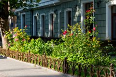 Flowers in the urban landscape. Flowering flowers in the urban landscape near the building royalty free stock photo