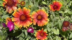 Flowers in Vail Colorado. Red Yellow and Pink Royalty Free Stock Photo